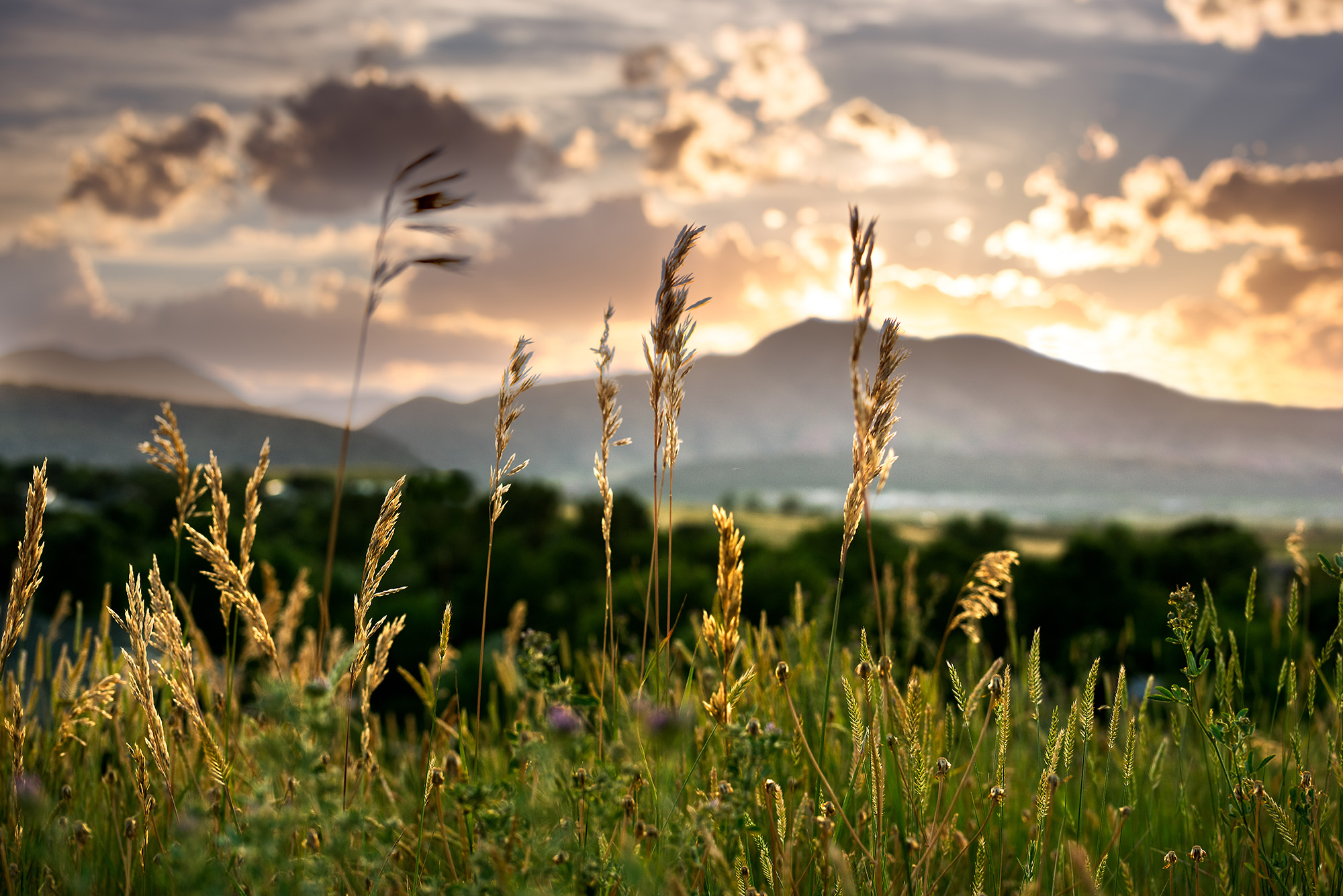 Colorado Wild Grasses at Sunset